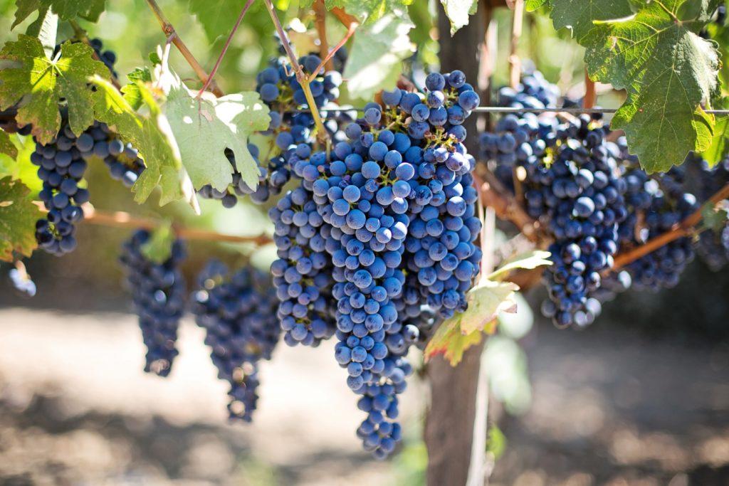 Rote Weintrauben - OPC
